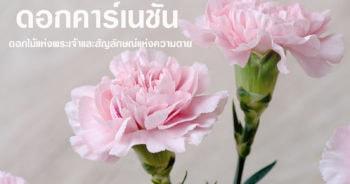 ดอกคาร์เนชั่น ดอกไม้แห่งพระเจ้าและสัญลักษณ์แห่งความตาย 1
