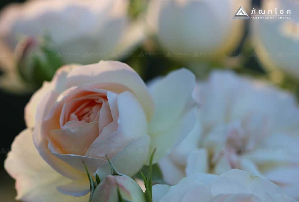 ดอกกุหลาบตัวแทนความรัก 3